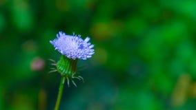 Schöner Wildflower von Kalaw Lizenzfreie Stockbilder