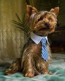 Schöner Yorkshire-Terrier, der das Haustier, freundlich, spielend, Hund, Garten, Hündchen spielt stockfotografie