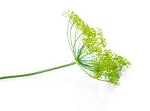 Schöner Zweig des reifen Dills des grünen Regenschirmes wird auf blac lokalisiert Lizenzfreies Stockbild