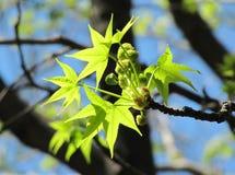 Schöner Zweig eines flachen Baums mit grünen Blättern Stockbild