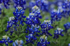 Schönere Bluebonnets in Texas Hill Country Stockbilder