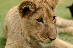 Schönes afrikanisches Löwejunges stockfoto