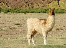 Schönes Alpaka im altiplano Anden lizenzfreies stockbild