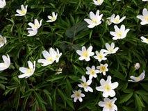 Schönes Anemone Nemorosa-Blumenwachsen im Thpark stockbild
