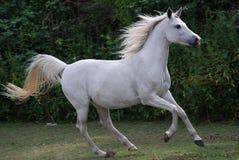 Schönes arabisches Pferd Lizenzfreie Stockbilder