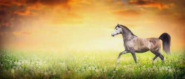 Schönes arabisches Pferdebetriebstrab auf Sommer- oder Herbstnaturhintergrund mit Sonnenunterganghimmel, Fahne Lizenzfreies Stockbild