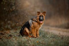 Schönes außenporträt im Freien des jungen Schäferhundhundes lizenzfreies stockfoto