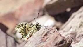 Schönes ausführliches Schmetterling machaon swallowtail auf einem Felsen stock video footage