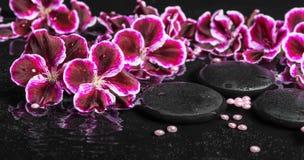 Schönes Badekurortkonzept der blühenden dunklen purpurroten Pelargonienblume Lizenzfreie Stockbilder