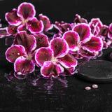 Schönes Badekurortkonzept der blühenden dunklen purpurroten Pelargonienblume Lizenzfreies Stockbild