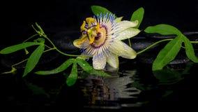 Schönes Badekurortkonzept der Passionsblumenblume und der grünen Niederlassung Stockfoto