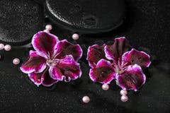 Schönes Badekurortkonzept der Pelargonienblume, der Perlen und des schwarzen Zenst. Stockfotografie