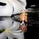 Schönes Badekurortkonzept des empfindlichen weißen Hibiscus, Zen entsteint Esprit Stockfoto