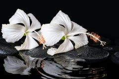 Schönes Badekurortkonzept von zwei empfindlichen weißen Hibiscusen, Zensteine Lizenzfreie Stockfotos