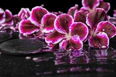 Schönes Badekurortstillleben der blühenden dunklen purpurroten Pelargonienblume Stockfotos