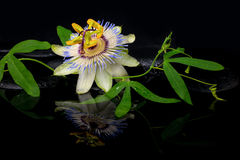 Schönes Badekurortstillleben der Passionsblumenblume und der grünen Niederlassung Lizenzfreie Stockfotografie