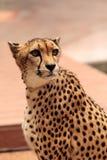 Schönes beschmutztes Gepard Acinonyx jubatus Stockbild