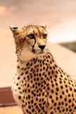 Schönes beschmutztes Gepard Acinonyx jubatus Lizenzfreies Stockbild