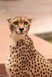 Schönes beschmutztes Gepard Acinonyx jubatus Stockfotos