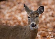 Schönes Bild der netten Rotwild im Wald Lizenzfreie Stockbilder