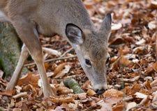 Schönes Bild der netten Rotwild im Wald Lizenzfreie Stockfotos