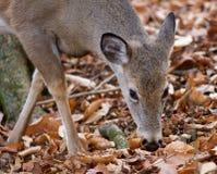 Schönes Bild der netten Rotwild im Wald Stockfotografie