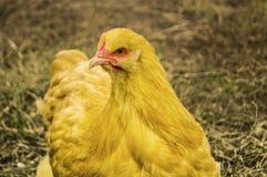 Schönes Bild des gelben Huhns des orpington stockbilder