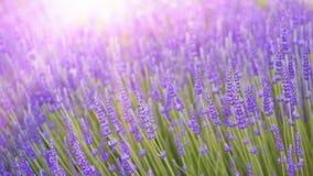 Schönes Bild des Lavendelfeldes Lizenzfreie Stockfotografie