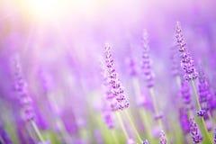 Schönes Bild des Lavendelfeldes Stockbilder
