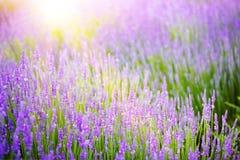 Schönes Bild des Lavendelfeldes Lizenzfreie Stockfotos