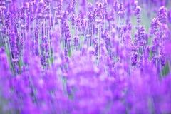 Schönes Bild des Lavendelfeldes Stockfotos