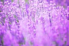 Schönes Bild des Lavendelfeldes Lizenzfreies Stockbild