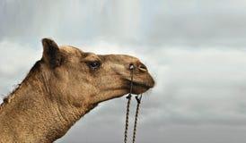 Schönes Bild eines Kamels bei Clifton Karachi stockbild