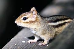 Schönes Bild eines netten Streifenhörnchens auf der Hecke Stockfoto