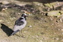 Schönes Bild eines Vogels mit einer Kombination von weißen, grauen und schwarzen Farben stockfotografie