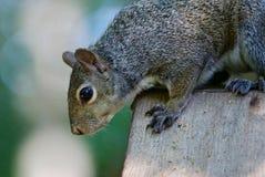 Schönes Bild mit einem netten Eichhörnchen auf der hölzernen Hecke Stockbilder