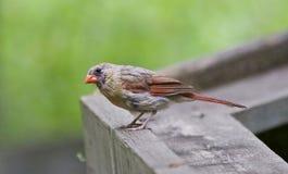 Schönes Bild mit einem Vogel auf dem Holz Lizenzfreie Stockbilder