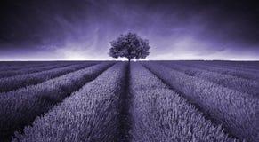 Schönes Bild von Lavendelweidelandschaft mit einzelner Baumtonne Lizenzfreies Stockfoto