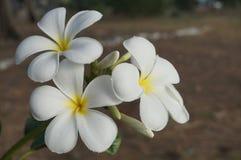 Schönes Blühen der weißen Blume Stockfotografie
