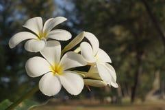 Schönes Blühen der weißen Blume Lizenzfreie Stockfotografie