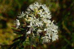 Schönes Blühen eines attraktiven Sumpfs des wilden Rosmarins mit weißen Blumen Lizenzfreie Stockfotografie
