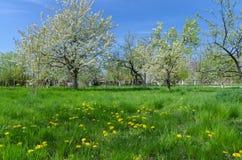 Schönes Blühen von Obstbäumen über blauem Himmel in buntem vivi lizenzfreie stockfotografie