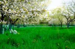Schönes Blühen von Obstbäumen im bunten klaren Frühlingspark lizenzfreie stockfotografie