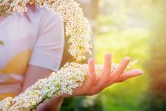 Schönes blühender Strauch spirea Hintergrund mit Blumen für Frühlingstag, Sonnenuntergang Hand mit einer Niederlassung im Vorderg stockbild