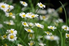 Schönes blühendes Feld der Kamille wildflowers Lizenzfreie Stockfotografie