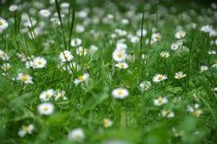 Schönes blühendes Feld der Kamille wildflowers Lizenzfreie Stockbilder