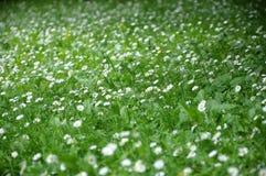 Schönes blühendes Feld der Kamille wildflowers Stockfoto