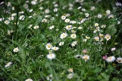 Schönes blühendes Feld der Kamille wildflowers Stockfotos