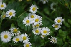 Schönes blühendes Feld der Kamille wildflowers Lizenzfreies Stockbild
