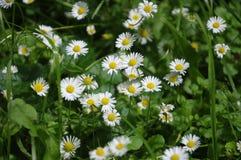 Schönes blühendes Feld der Kamille wildflowers Lizenzfreie Stockfotos
